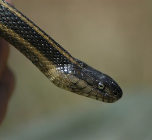 Garter.Snake